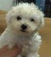 Puppy Classifieds Puppiesfor Saledogbreederspet Storeslong