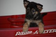 Alimentos para perros: Pomeranian puppies for sale in ...