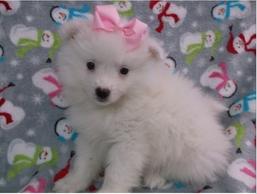 American Eskimo Dog For Sale Nyc