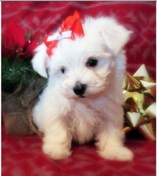 Maltese Puppies For sale - long island, NY CT NJ