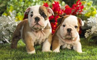 Puppies For Saledog Breederspet Storesbuy A Puppylong Islandny