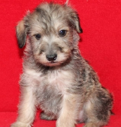 Shorkie Puppies For Sale Long Island Ny