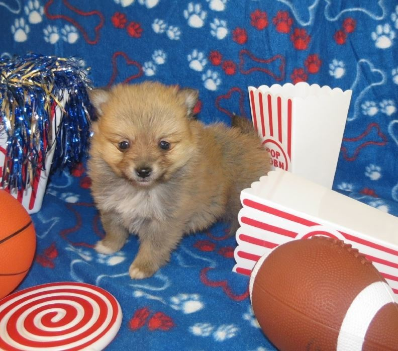 puppy classifieds, Puppies|For Sale|Dog|Breeders|Pet Stores