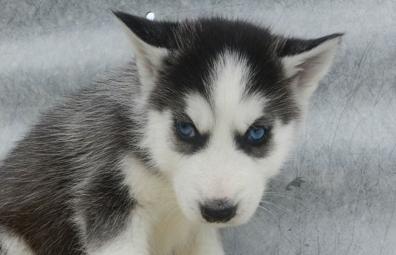 puppy classifieds, Puppies|For Sale|Dog|Breeders|Pet Stores|Long